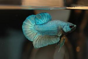 Nano fische und minifische nano aquarium tipps for Siamesischer kampffisch haltung
